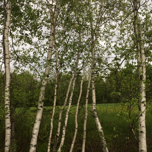 birch trees leafing out in spring