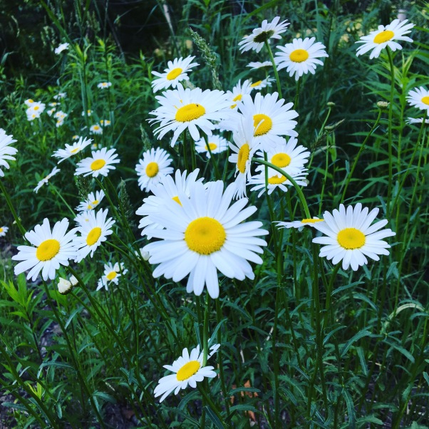 daisies on a Vermont roadside