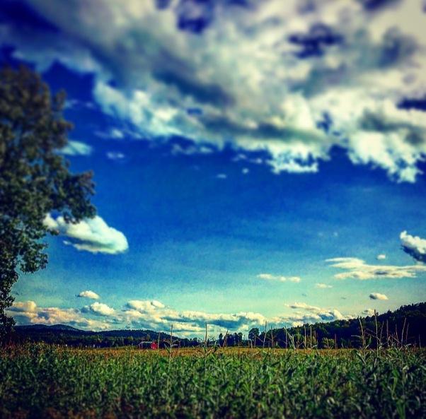 corn field in Stowe