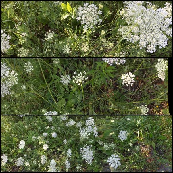 Wildflowers along Vermont roadside