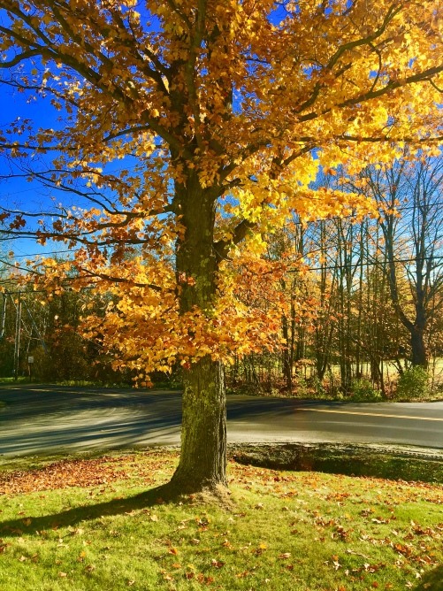 Maple tree in autumn in Vermont