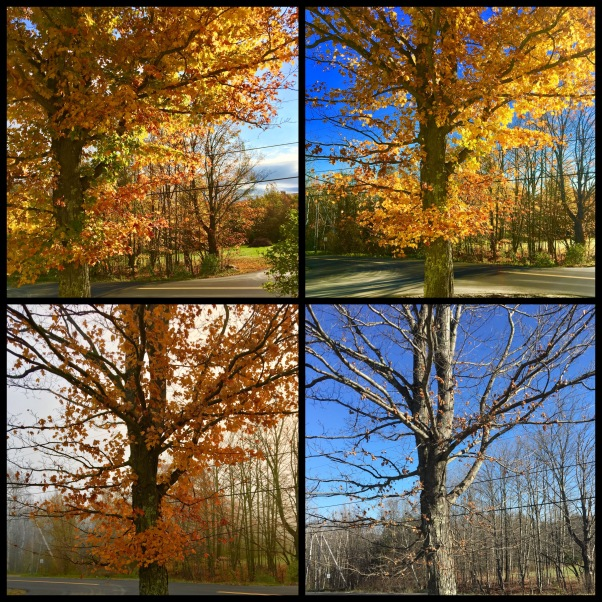 Sugar maple stages of Autumn