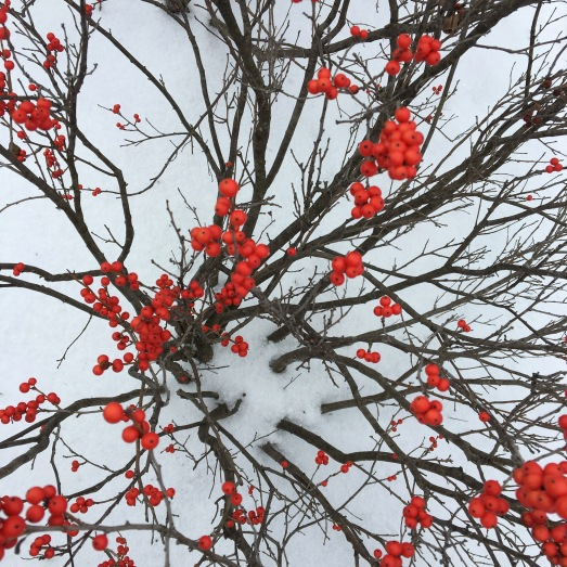 red berries against the white snow