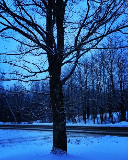 maple tree at dusk
