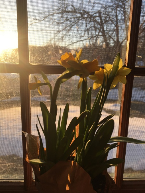 daffodils on the windowsill