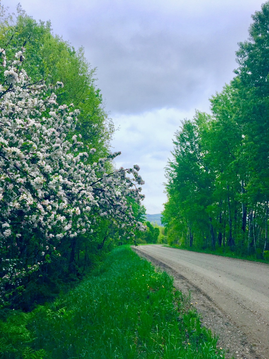dirt road lined with wild apple trees