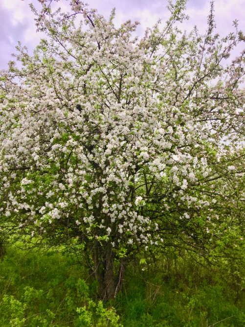 apple tree in full bloom