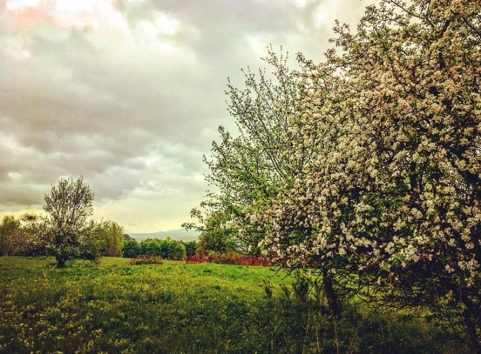 apple tree in full bloom