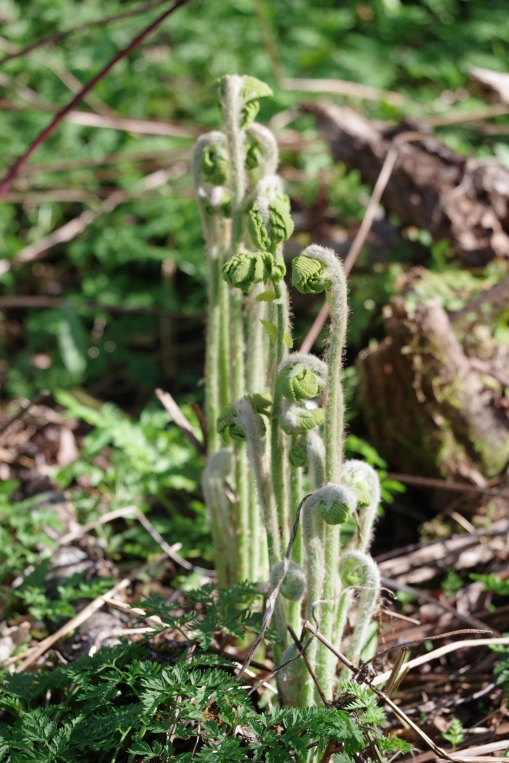 fiddleheads in the woods