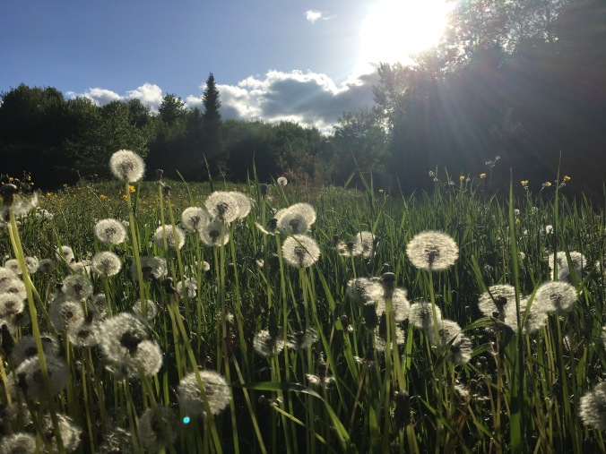 dandelions in the sunshine