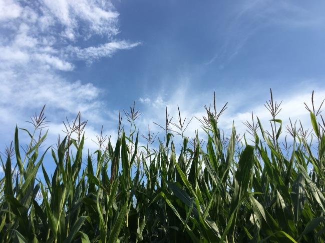 corn field under a blue sky