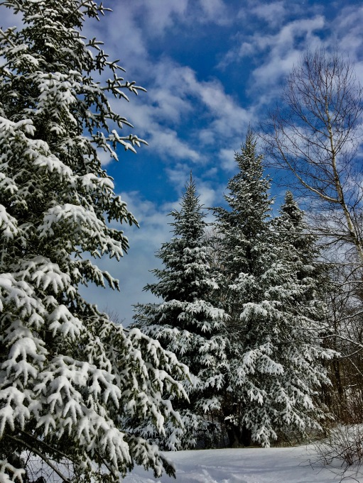 snowy evergreens and blue sky