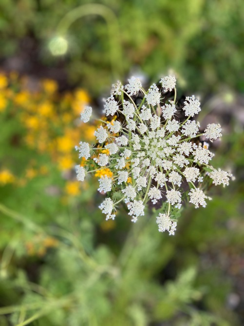 close up of Queen Anne's Lace