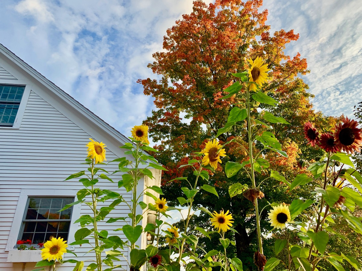 sunflowers and fall foliage in Vermont