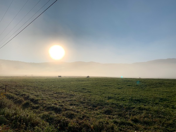 cows in the pasture on a misty morning